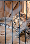 Wild leopard incarcerated in a cell — Stock Photo