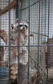 Wild gray raccoon locked up in a black box — Stock Photo