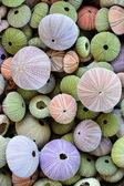 Collection of colorful sea urchin shells — Stock Photo