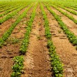 Stock Photo: Vegetable farm