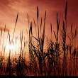 Reeds aganst a red sky - Stock Photo