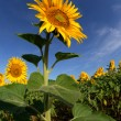 Sunflower — Stock Photo #5228385