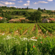 Stock Photo: Beaujolais vineyard