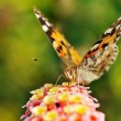 Butterfly sipping nectar from flower - Stock Photo
