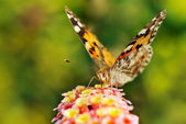 Mariposa bebiendo el néctar de la flor — Foto de Stock