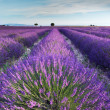 Lavender field in Provence in the early hours of the morning — Stock Photo