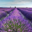 Lavender field in Provence in the early hours of the morning - Stock Photo