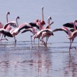 Stock Photo: Flamingos Taking Flight