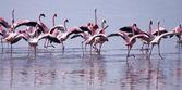 Flamingos Taking Flight — Stock Photo