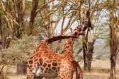 Two Giraffe Fighting — Stock Photo