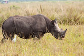 Black Rhinoceros Calf — Stock Photo