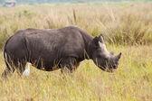 Black Rhinoceros Calf — Stock Photo