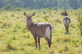 Curious Waterbuck — Stock Photo