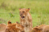 Juvenile Lion — Foto Stock