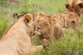 Loving Lions — Stock Photo
