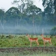 Stock Photo: Three Watchful Impala