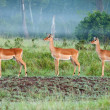 Impala In The Mist — Stock Photo #5219320