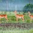Impala In The Mist — Stock Photo