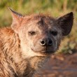 Hyena Close-Up — Stock Photo