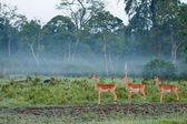 Three Watchful Impala — Stockfoto