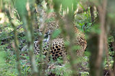 Resting Leopard — Stock Photo