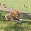 Lion Squatter - Stock Photo