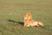 Golden Lion — Stock Photo