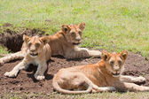 Trio Of Young Lions — Stock Photo