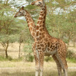 Stock Photo: Two-Headed Giraffe