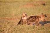 Spotted Hyena Puppies — Stock Photo