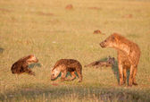 Family Of Spotted Hyena — Stock Photo