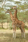 Two-Headed Giraffe — Stock Photo