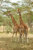 Rothschild's Giraffe — Stock Photo