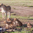 Lioness and Litter — Stock Photo