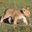 Lion Cub — Stock Photo #5344106