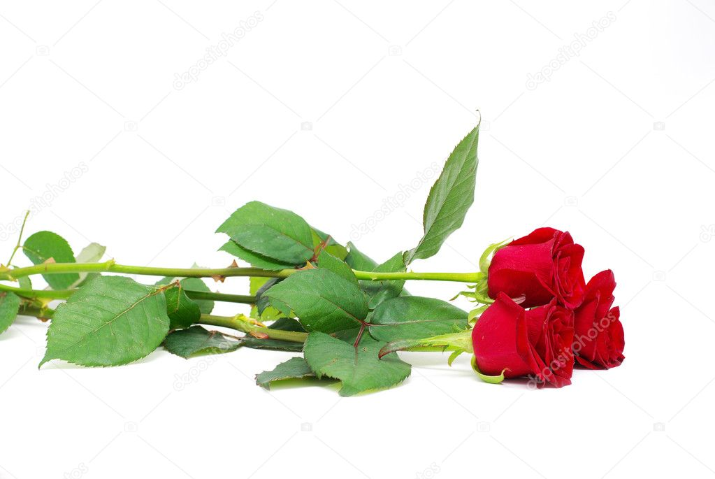 Red roses on a white background with space for text — Stock Photo #4163299