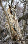 Screech-owl portrait. — Stock Photo