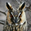 Stock Photo: Screech-owl portrait.