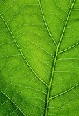 Green background. Oak leaf texture closeup. — Stock Photo