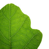 Green oak leaf. Closeup, isolated. — Stock Photo