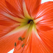 Hippeastrum - Stock Photo