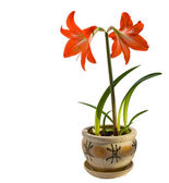 Hippeastrum — Stock Photo
