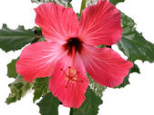 Hibiscus rosa-sinensis L. pink — Stock Photo