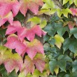 Autumn Boston Ivy Background - Stock Photo