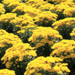 Stock Photo: Yellow Chrysanthemum Flowers