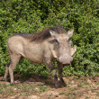 Stock Photo: Warthog Portrait