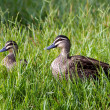 ������, ������: Pacific Black Duck