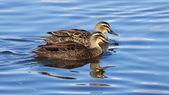 Pacific Black Ducks — Stock Photo