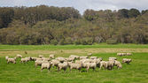 Australian Sheep — Stock Photo