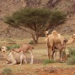Camel Nursery - Stock Photo